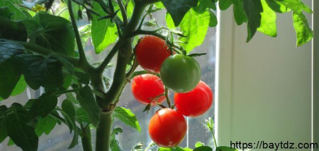 كيف تزرع الطماطم