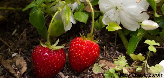 كيف تزرع الفراولة