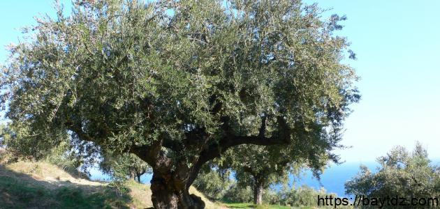كيف تزرع شجرة الزيتون