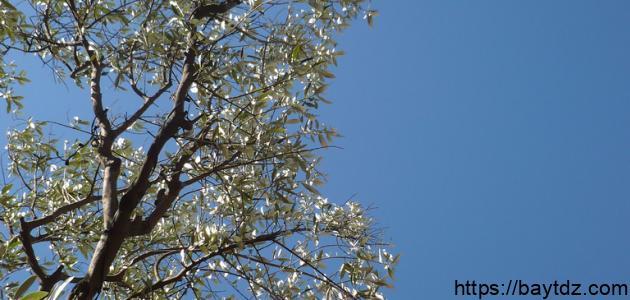 كيف يتم غرس شجرة الزيتون