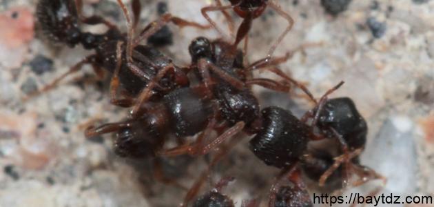 كيف يعيش النمل