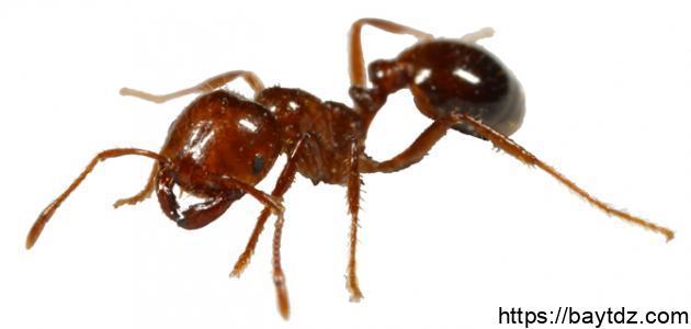 كيف يمكن القضاء على النمل