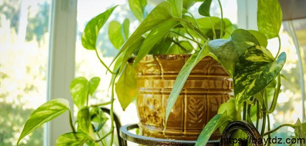 كيفية العناية بالنباتات الظلية