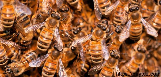 كيفية تربية النحل اليمني