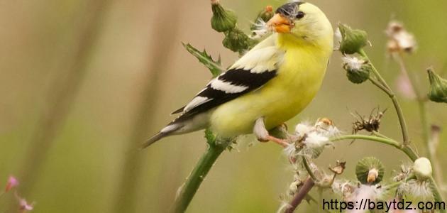 كيفية تربية طائر الحسون