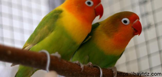 كيفية تكاثر طيور الحب