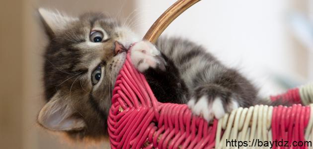كيفية تنظيف القطط الصغيرة