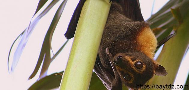 كيفية توالد الخفاش
