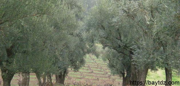 كيفية زراعة أشجار الزيتون