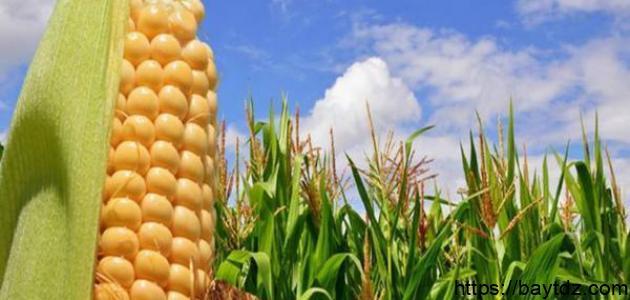 كيفية زراعة الذرة الصفراء