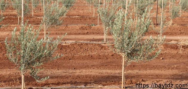 كيفية زراعة الزيتون