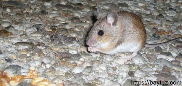 كيفية طرد الفئران من المنزل