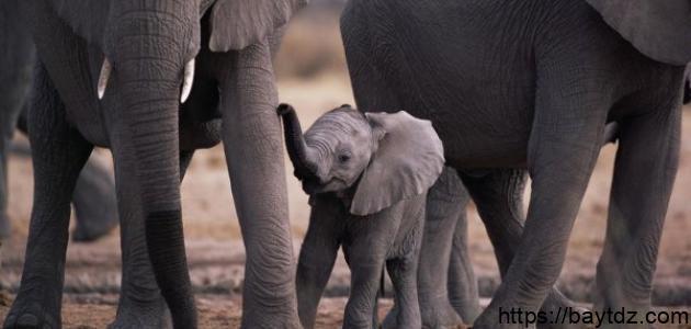 ما اسم ابن الفيل