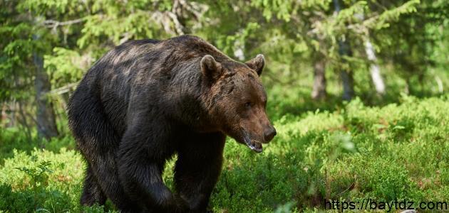 ما اسم صغير الدب