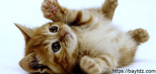 ما اسم صغير القط