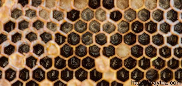 ما فائدة غذاء ملكات النحل