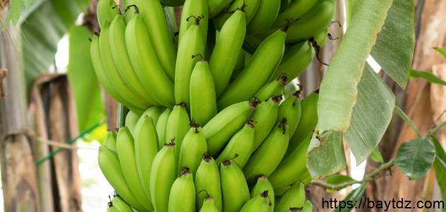 ما هو أهم معدن موجود في الموز