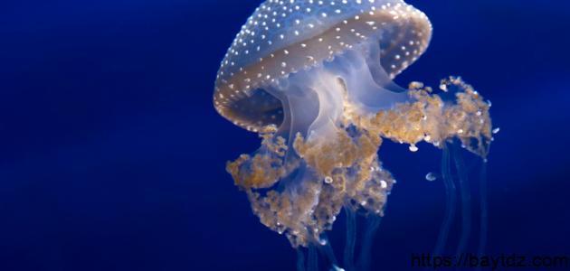 ما هو قنديل البحر