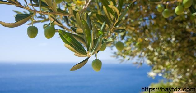ما هي فوائد ورق شجرة الزيتون