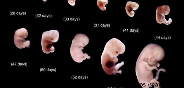 ما هي مراحل تكوين الجنين أسبوعياً