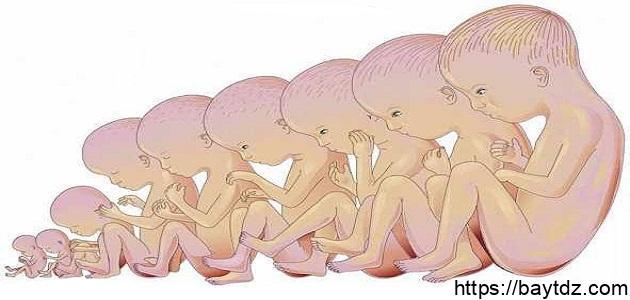 مراحل تطور الحمل بالأسابيع