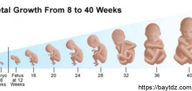 مراحل نمو الجنين شهرياً