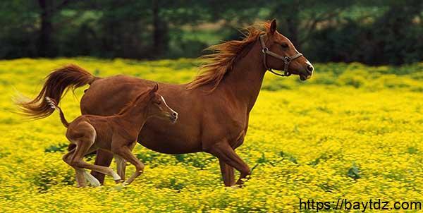 معلومات عن أنثى الحصان