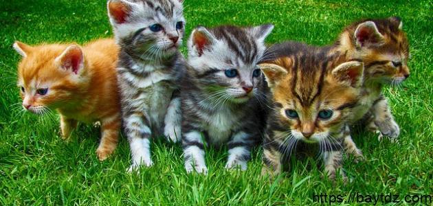 معلومات عن صغار القطط