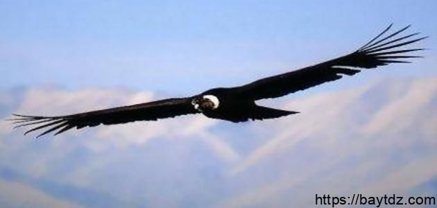 معلومات عن طائر النسر