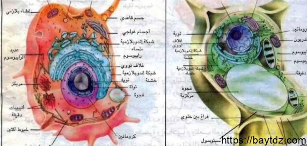 مكونات الخلية النباتية ووظائفها