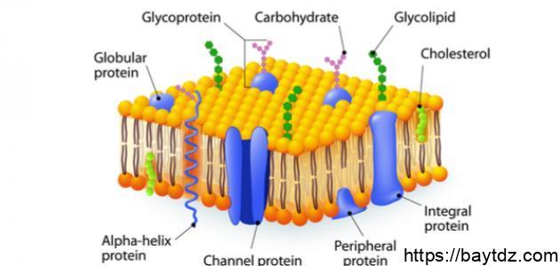 مكونات غشاء الخلية