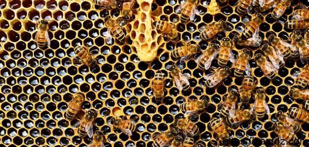من أين تخرج النحلة العسل