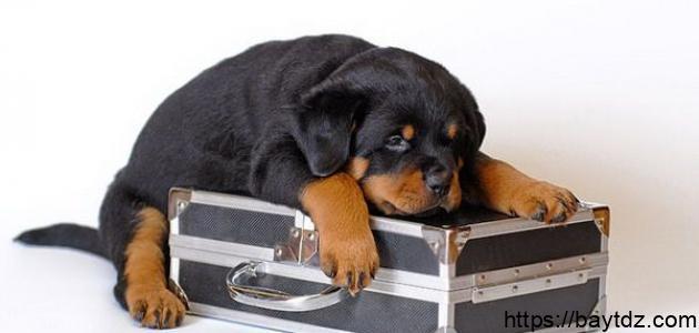 مواصفات الكلاب الروت وايلر