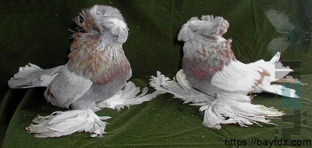 انواع الحمام الذي لا يطير