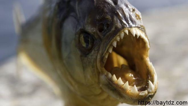 اين توجد اسماك البيرانا المتوحشة
