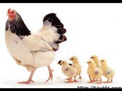 دورة حياة الدجاجة