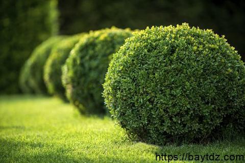زراعة شجر البقس