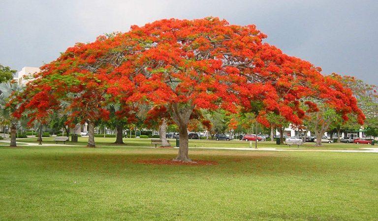 شجرة البونسيانا