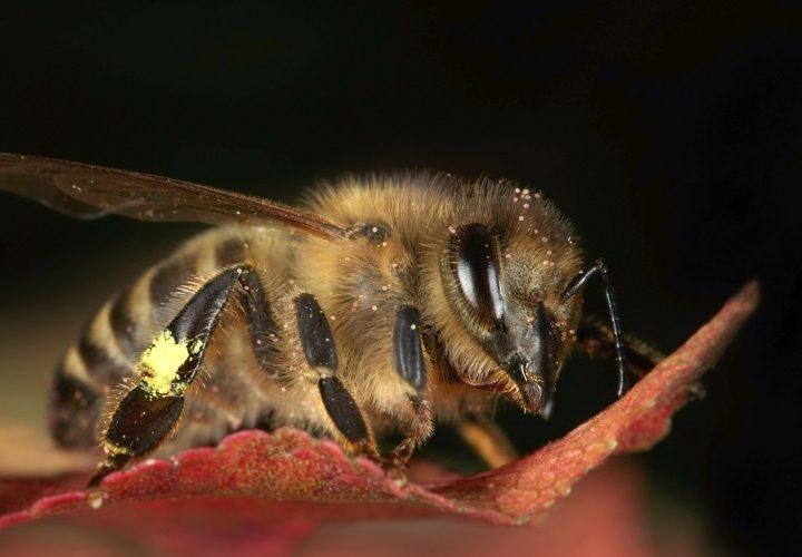صفات النحل الكرنيولي