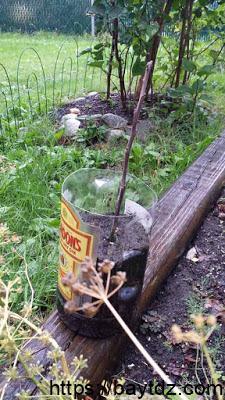 كيفية زراعة غصن الليمون مأخوذ من شجرة