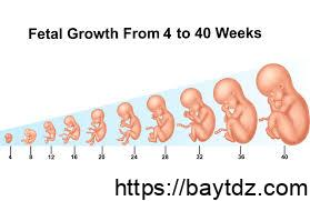 وزن الجنين في الشهر الخامس
