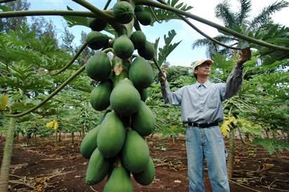 دراسة جدوى جاهزة لحساب تكاليف زراعة فدان من نبات الباباظ