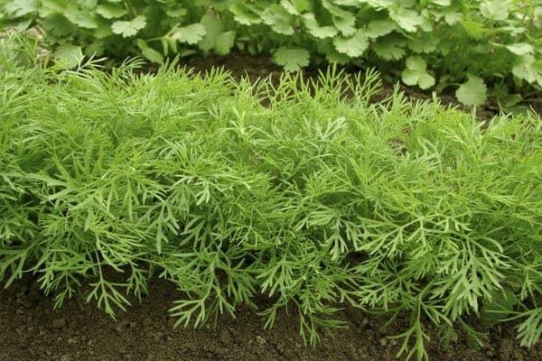 زراعة الشبت بالتفصيل