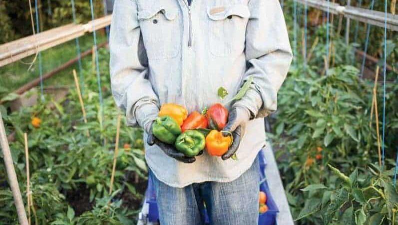 زراعة الفلفل الملون في الصوب الزراعية بربح 180 الف