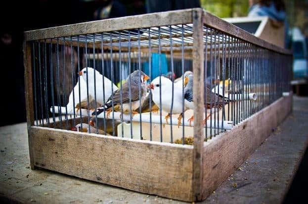 مشروع الاتجار بعصافير الزينة بدون محل