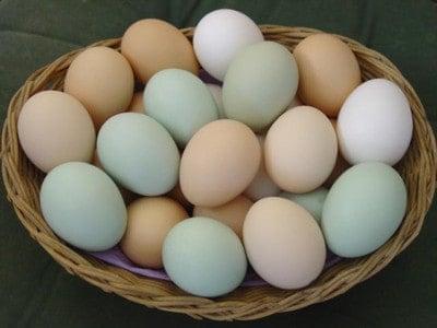 مشروع تجميع البيض البلدي من مربين الدجاج وبيعة بأسعار اعلي